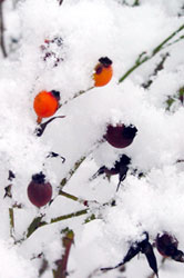 snow covered berry bush