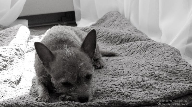 dog sitting, chihuahua
